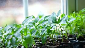 Zelenina potřebuje slunné a teplé stanoviště. Když bude světla málo, sazenice budou mít tenké a dlouhé výhonky, které se budou natahovat za sluncem.