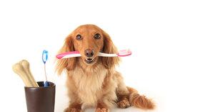 S čištěním zubů je nejlepší začít od štěněte, ale naučit to můžete i starší psy. Rozhodně je to lepší, než odstraňování zubního kamene v narkoze.