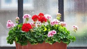 Namnožte si muškáty. Příští rok rozzáří vaše okna a balkony záplavou květů