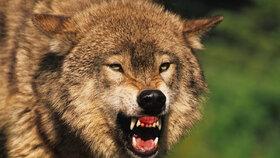 Vlk nakažený vzteklinou zaútočil na lidi: Rus ho uškrtil holýma rukama. (Ilustrační foto)