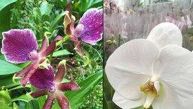 Milovníci orchidejí jásají: Botanickou zahradu zaplavily královny opylovacích triků