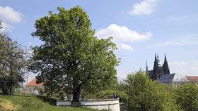 Pátrání po starých stromech: Hledají se symboly pro stoleté výročí svobody