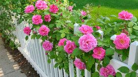 Jak si namnožit růže, aby se jim příští léto dařilo