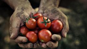 Je čas vysadit rajčata! Jsou lepší tyčková nebo keříčková?