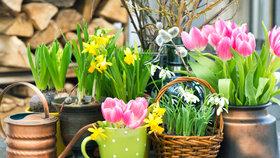 Je čas sázet cibuloviny. Na jaře zahradu rozzáří narcisy, tulipány, krokusy i modřence