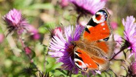 Motýli mohou zkrášlit zahradu i na podzim. Jaké květiny je přilákají?