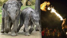 Zoo chystá lampionový průvod i ohnivou show. U slonů oslaví svátek světla