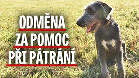 Vlkodav zmizel, jako by viděl ducha: Za nalezení 70kilového psa nabízí panička tučnou odměnu