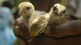 Ptačí chřipka je agresivnější než kdy dřív. Utlumit ji může jarní počasí