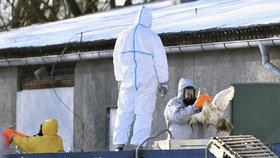 Nové ohnisko ptačí chřipky: V jižních Čechách zabijí i tisíce malých kachňat