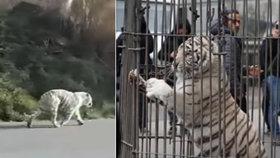 Panika v Palermu: Cirkusákům utekl tygr a několik hodin chodil po městě