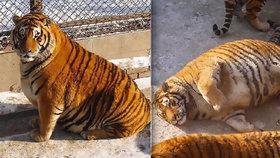 Vyžraní tygři z čínské zoo baví svět: Vypadají jako pruhované koule!