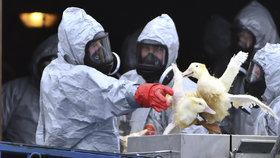 Likvidace drůbeže zasažené ptačí chřipkou