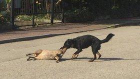 Pes utekl majiteli a zabil březí srnu. Myslivec: Zastřelit ho jen tak nemůžeme
