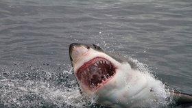 Žralok modrý je menší a méně děsivý kolega legendárního žraloka bílého.
