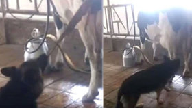 """Fena na videu tahá z krávy placentu. """"Pomáhá a má svačinu,"""" říká majitelka"""