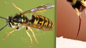 Pozor na žihadla od vos, včel a sršňů: Výdaje za ošetření – desítky milionů! V ohrožení života nemusí být jen alergici