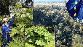 Evropská unie nařizuje likvidaci 9 nepůvodních druhů rostlin.