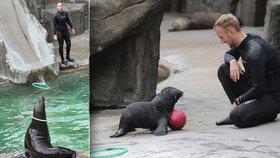 Dojemné loučení s lachtanem Mamutem v Zoo Praha: V bazénu ho nahradí bráška