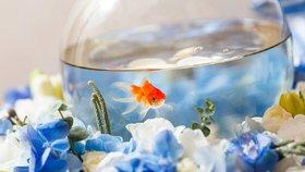 Belgický hotel láká turisty na kuriozitu: Pronajímá jim zlaté rybičky!