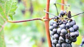 V Hustopečích očesali zloději vinohrad: Odnesli si 700 kilo Cabernet Moravia
