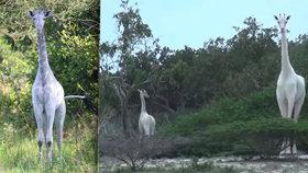 Unikátní objev v Keni: Páreček sněhobílých žiraf!