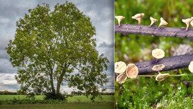 Zkáza jasanů! Lesy na jižní Moravě ničí houba zavlečená z Asie, není proti ní obrany
