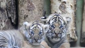 Pavilon s malými tygříky se znovu otevírá veřejnosti: Jejich matka už návštěvníky snáší lépe