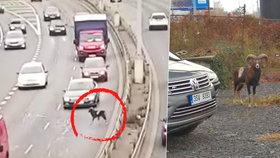 Po Strakonické běhal muflon: Dvě auta se kvůli němu srazila, zmatené zvíře museli uspat