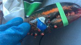 """Humr měl na klepetu """"vytetované"""" logo Pepsi. Ochránci bouří kvůli znečištění oceánů"""