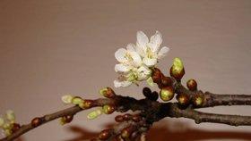Barborky: Magie květů uprostřed zimy