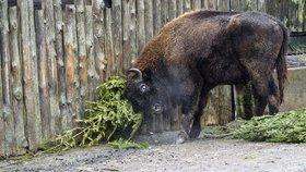 Stovky neprodaných stromků skončily v pražské zoo. Zkrmí je zvířecí obyvatelé