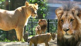 Brněnská zoo přivítala nové přírůstky: Samici vzácného lva konžského se narodila dvě mláďata