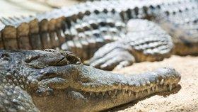 Nevšední domovní prohlídka: Ruská policie nalezla ve sklepě podezřelého pětimetrového krokodýla!