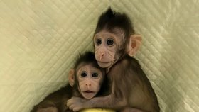 """V Číně poprvé naklonovali opice. """"Otevřeli jsme cestu ke klonování lidí,"""" věří vědci"""