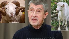 Čapí hnízdo bralo dotace na ovce i kozy. Babiš: Nemám s tím nic společného
