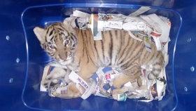 Divočina na poště: V balíku posílali tygří mládě. Mexičtí policisté jej odhalili