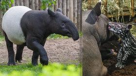 Smutné loučení: Zoo Praha opustí rozkošný tapír Punťa (2). Čeká ho dlouhá cesta na Tchaj-wan
