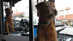 Místo řidiče byl za volantem trolejbusu v Pardubicích pes: Z kabiny psa vyvedli strážníci