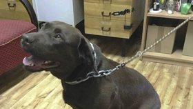 Opuštěný labrador se toulal Thomayerovou nemocnicí, kolem krku měl řetez: Neznáte majitele?