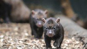 Štěňata psů pralesních v Zoo Praha: V příštím týdnu se poprvé podívají ven