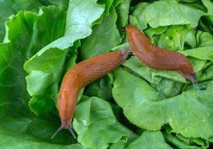 Proti žravým slimákům je potřeba zakročit už teď, jinak spasou celou úrodu.