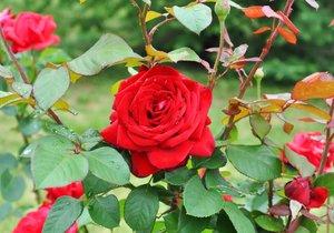 Růže pravidelně kontrolujte, jestli je nenapadla choroba.