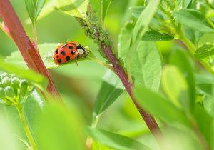 Mšice sají z rostlin šťávy a tím je vyčerpávají. Kromě toho na ně mohou přenést nejrůznější onemocnění.