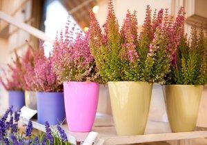 Vřes nachází stále častěji své místo jako dekorativní pokojová rostlina.