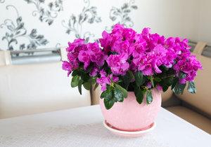 Azalka patří mezi nejoblíbenější zimní kvetoucí pokojovky.