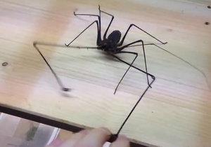 Pavoukovec útočí na svého majitele.