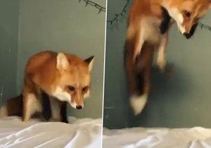 Zmatená liška si spletla prostěradlo na posteli se sněhem.