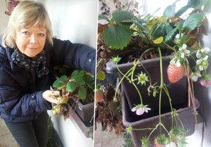 Je únor, a na Moravě u Kamrlů dozrávají jahody.