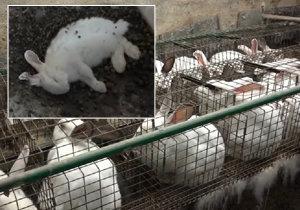 Neléčené infekce, preventivní antibiotika, mrtvoly mezi zvířaty. Realita králičích velkochovů.